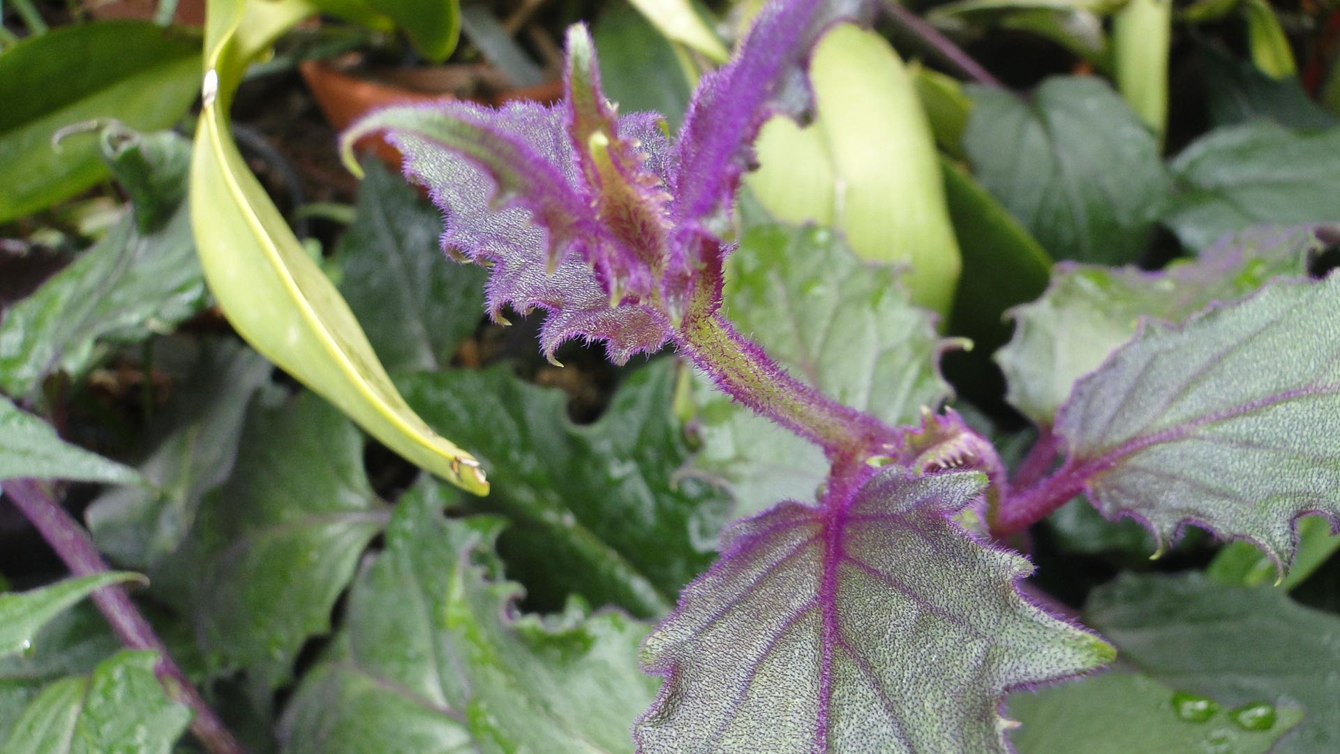 Gynura aurantiaca purple passion velvet plant botany AustinBotany